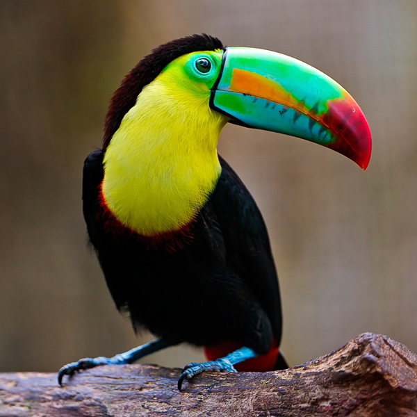 Toucan in Colombia