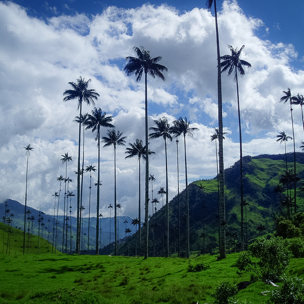 Wax trees in Colombia