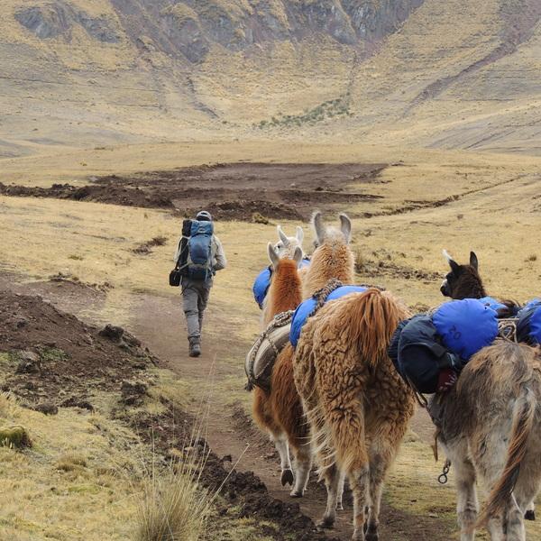 Randonneur suivis par 3 lamas sur une piste aride