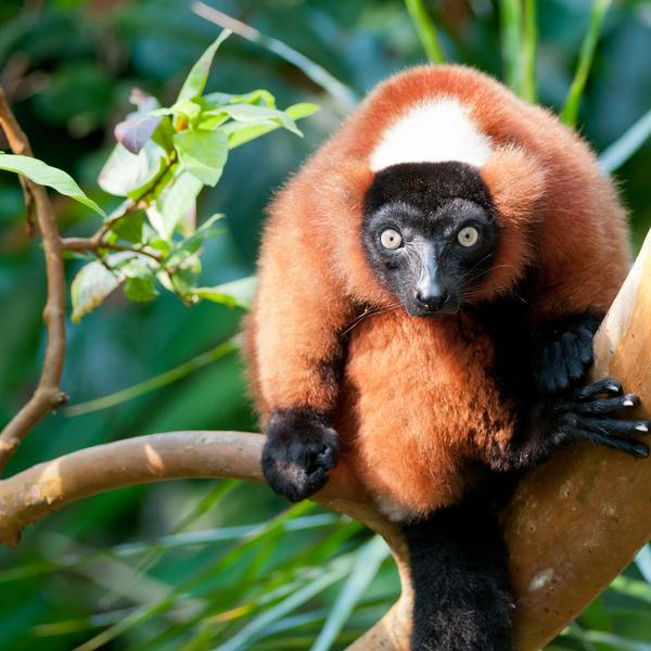 Das Bild zeigt Lemuren.