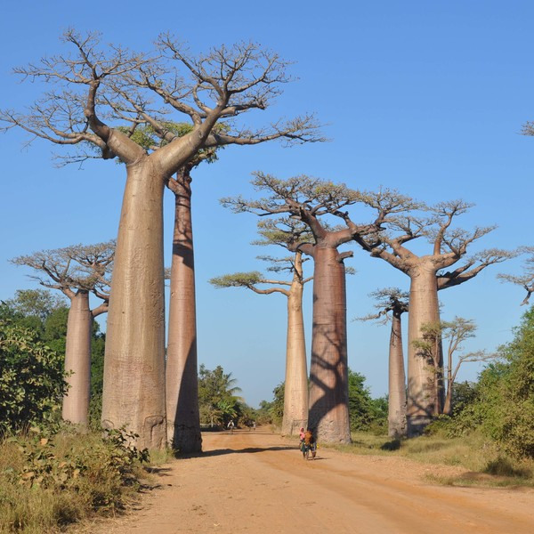 Avenue of Baobabs Madagascar