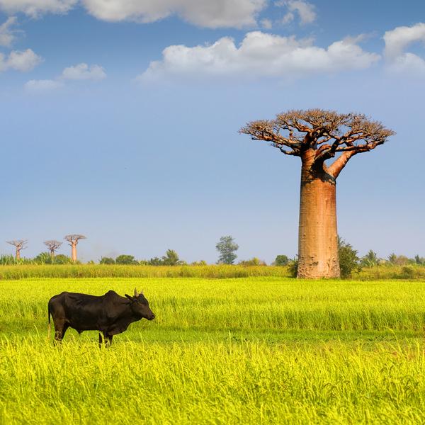 Un zebu devant une prairie près d'un grand baobab