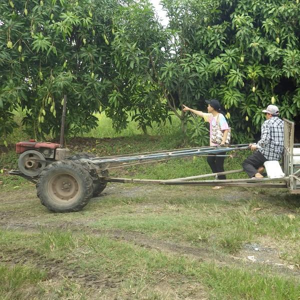 La cueillette des fruits à Maha Sawat