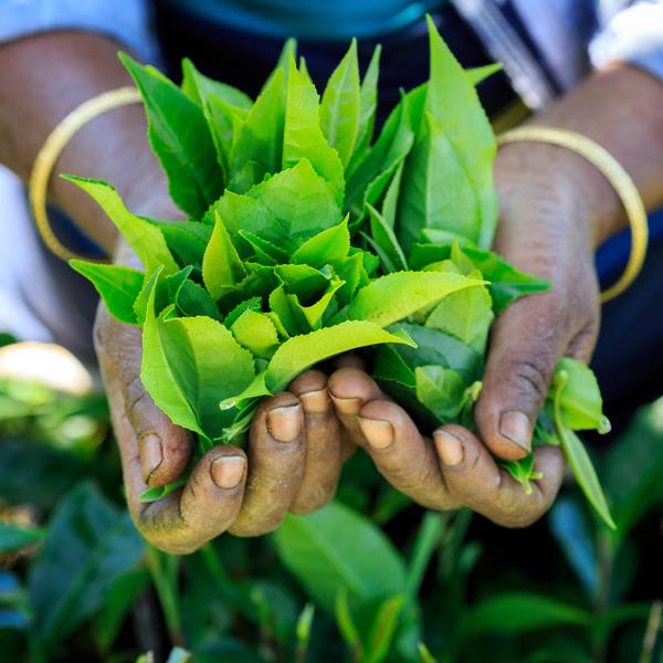 Das Bild zeigt frische Teeblätter.