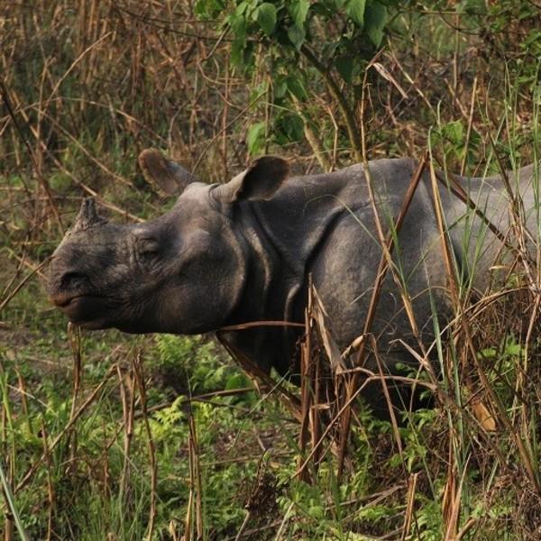 Un rhinocéros au parc national de Chitwan