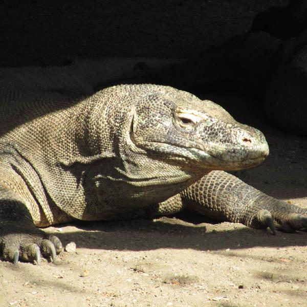 Un varan de Komodo se chauffant au soleil