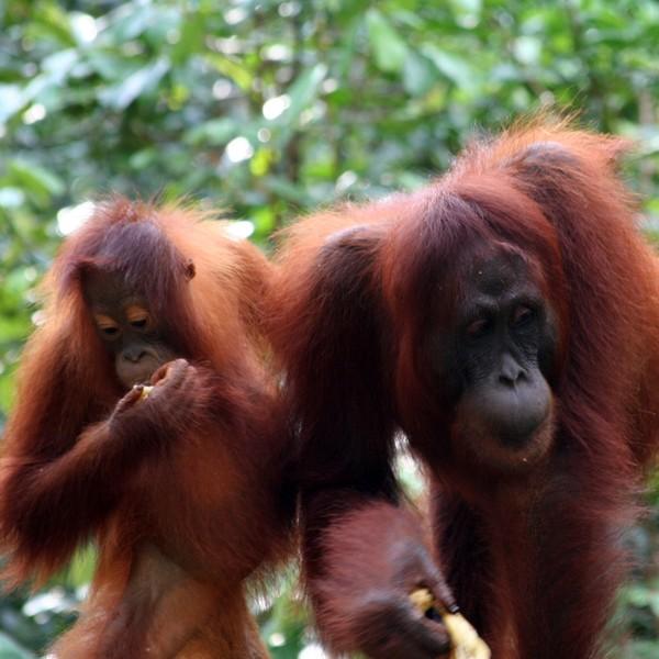 Deux orangs-outans mangeant des fruits