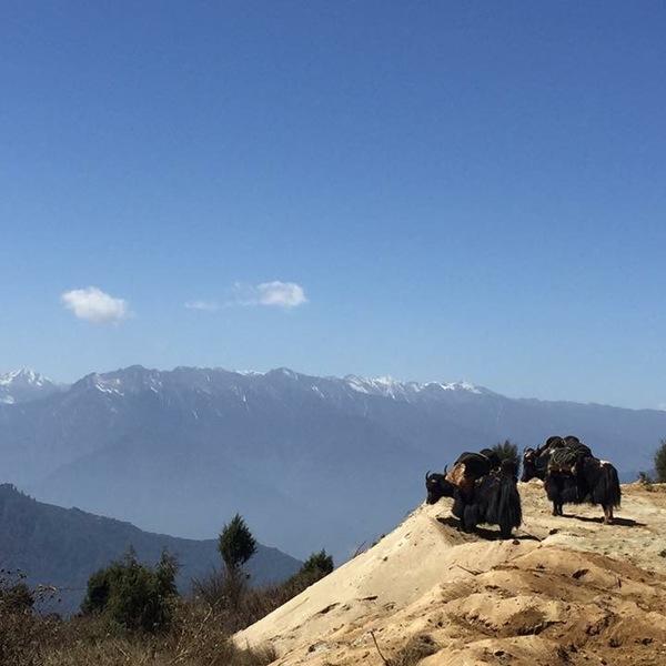 Deux yacks avec leur chargement sur un promontoire face aux sommets