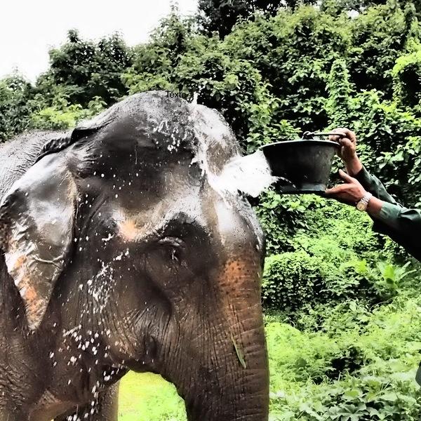 Un éléphant se faisant arroser à coup de seau d'eau