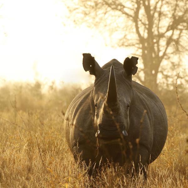 Rhinocéros à contre-jour avec le parc de Hluhluwe et un magnifique coucher de soleil en arrière-plan