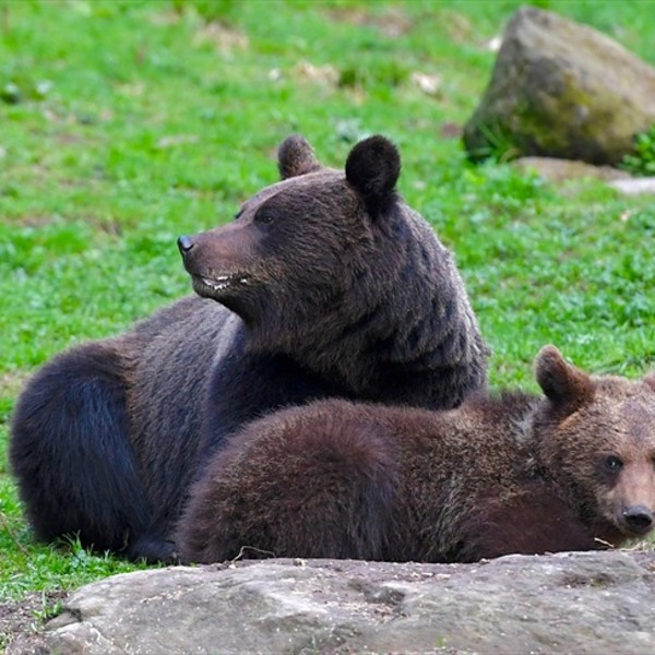 Ours adulte et son ourson allongés dans l'herbe