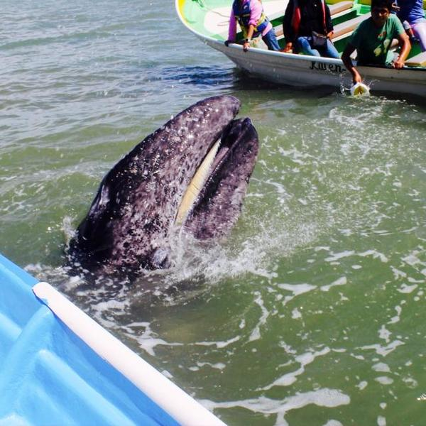 Hautnahe Begegnung mit den Giganten der Meere in Baja California