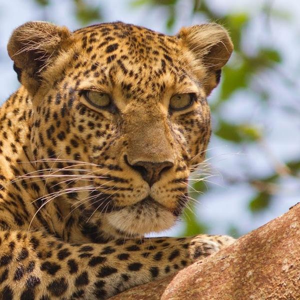 Gros-plan sur un léopard
