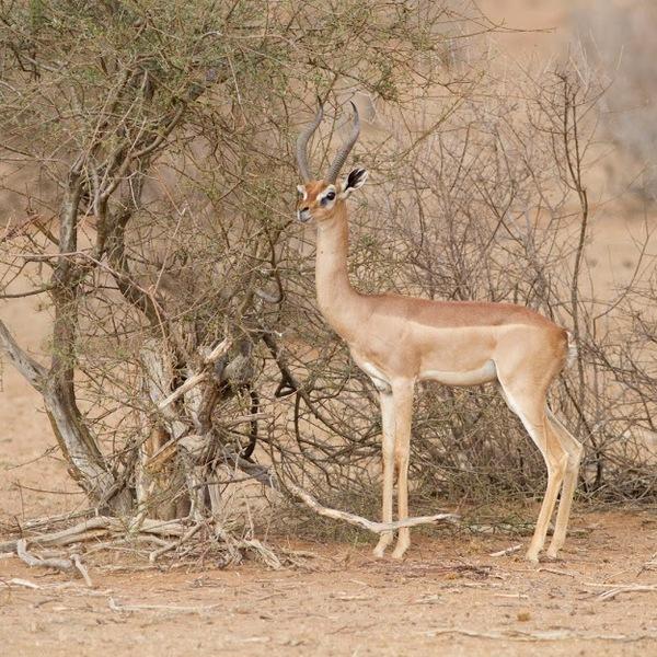 Un gérénuk ou gazelle de Waller