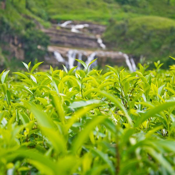 Gros-plan sur les feuilles de thé