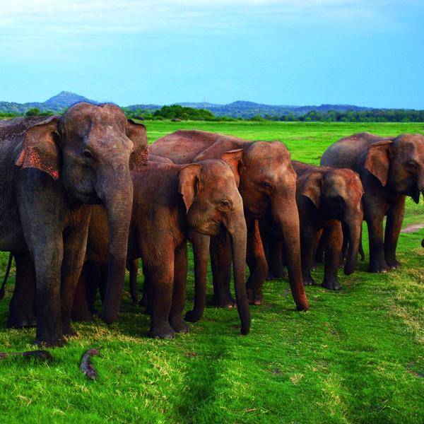 Groupe d'éléphants dans une prairie