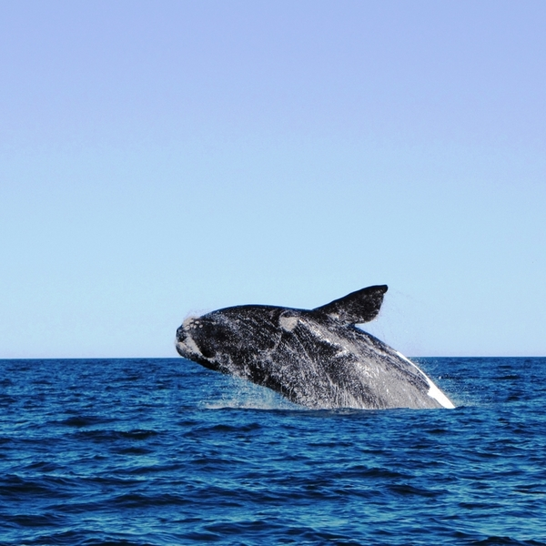 Whale, Argentina