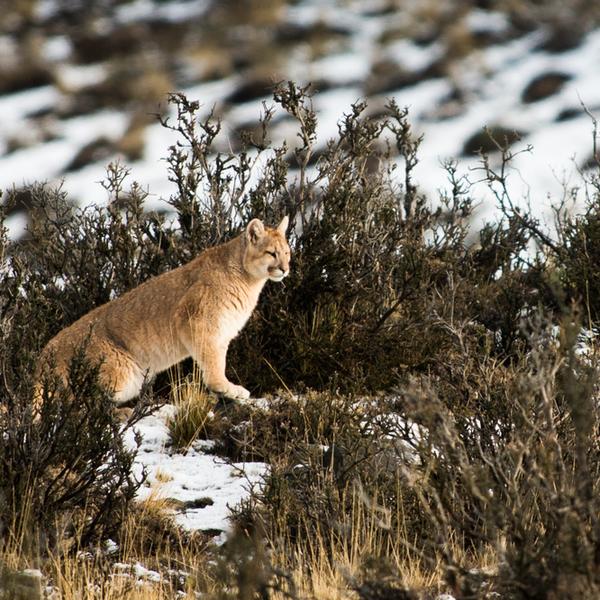 Puma, Patagonia