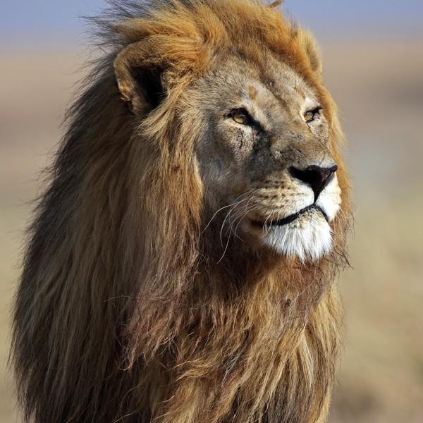 """El león, uno de los """"Big 5"""" en la Reserva Privada de Kruger"""