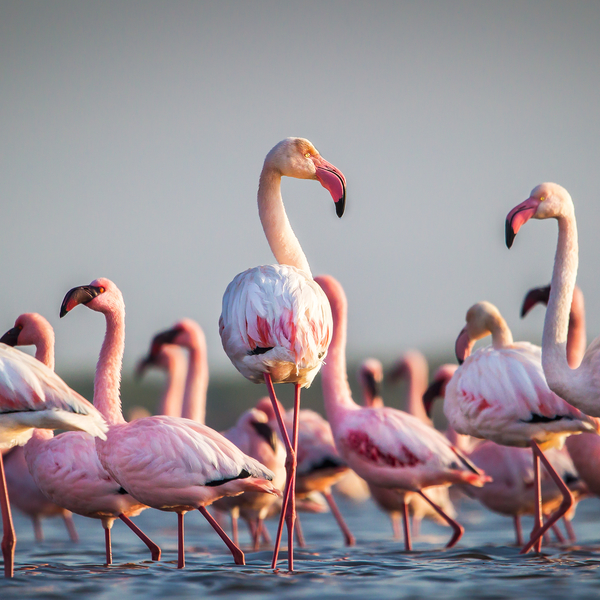 Colonies de flamants roses sur les rives du lac Sainte-Lucie