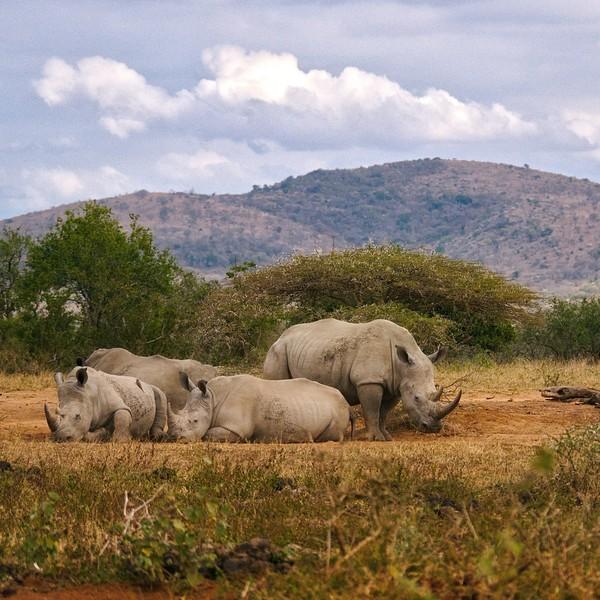 Groupe de rhinocéros dans la savane