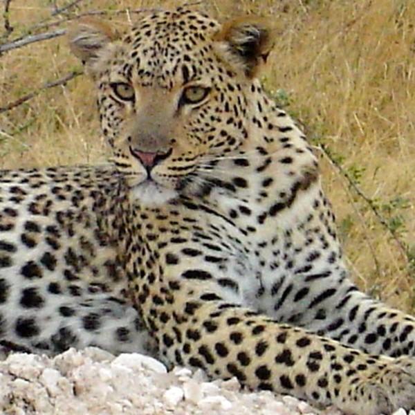 Un léopard couché dans l'herbe