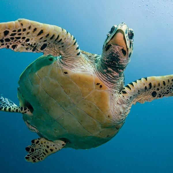 Vue en contre-plongée d'une tortue marine en train de nager