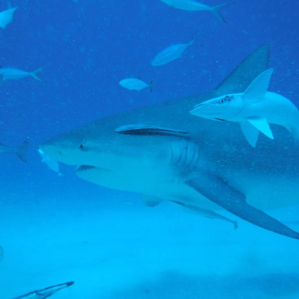 Vue sous-marine de requins bouledogues