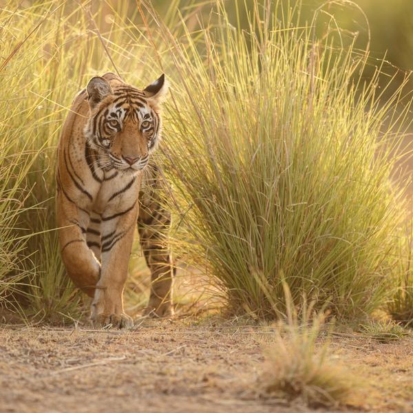 Das Bild zeigt einen Tiger in freier Wildbahn.