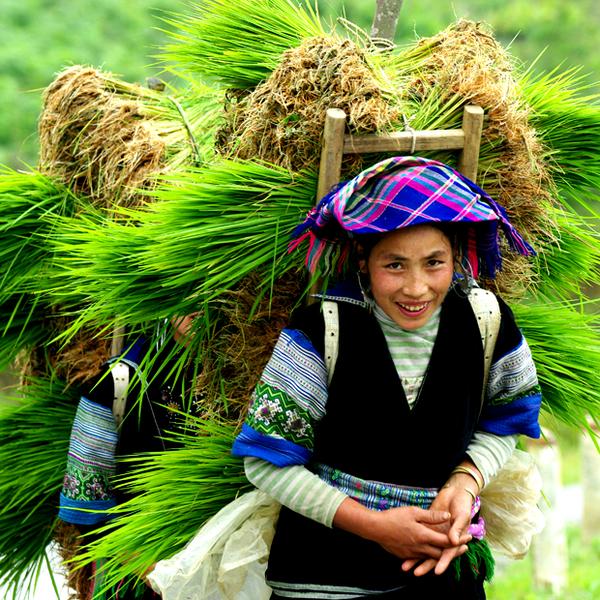 Femme issue d'une minorité ethnique de la région de Sa Pa portant la récolte sur son dos
