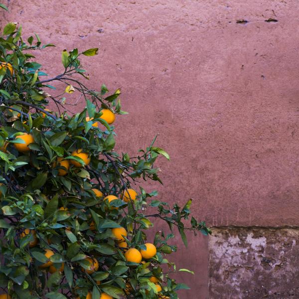 Das Bild zeigt einen Orangenbaum.