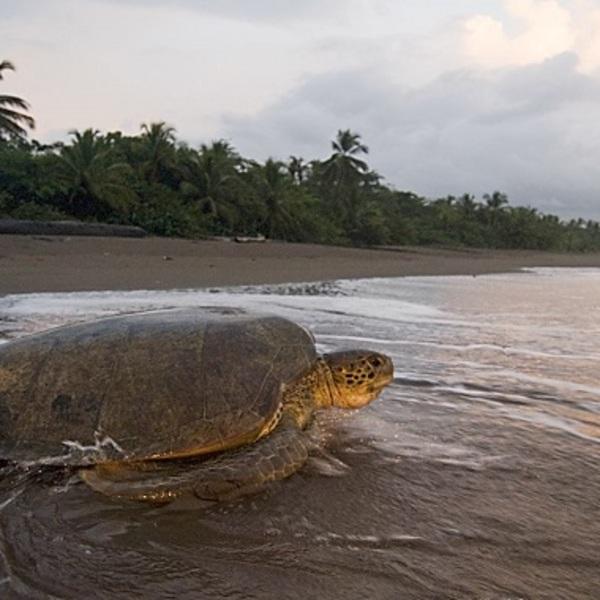La ponte des tortues a Tortuguero