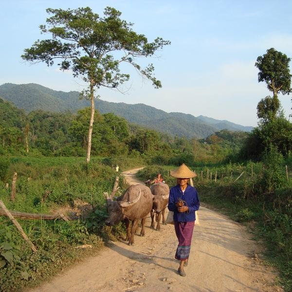Une éleveuse de la tribu Tay Lue conduisant ses buffles