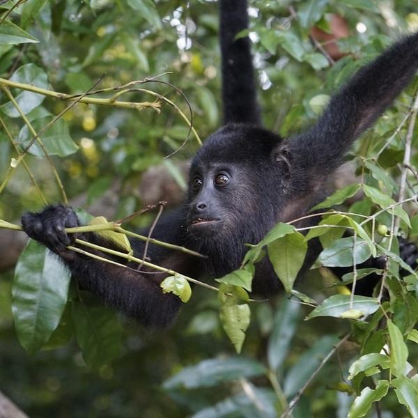 Un singe hurleur au milieu des feuillages