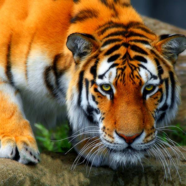 Bengal tiger in India