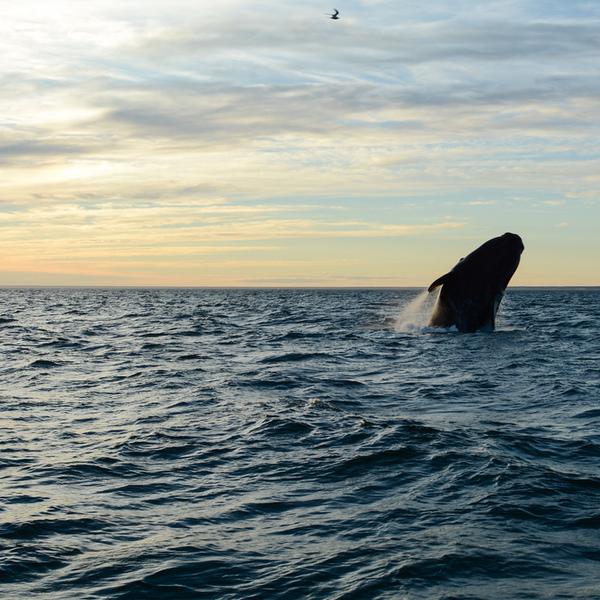 Une baleine émergeant de la mer