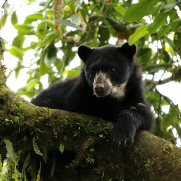 Ours à lunettes allongé sur une branche d'arbre