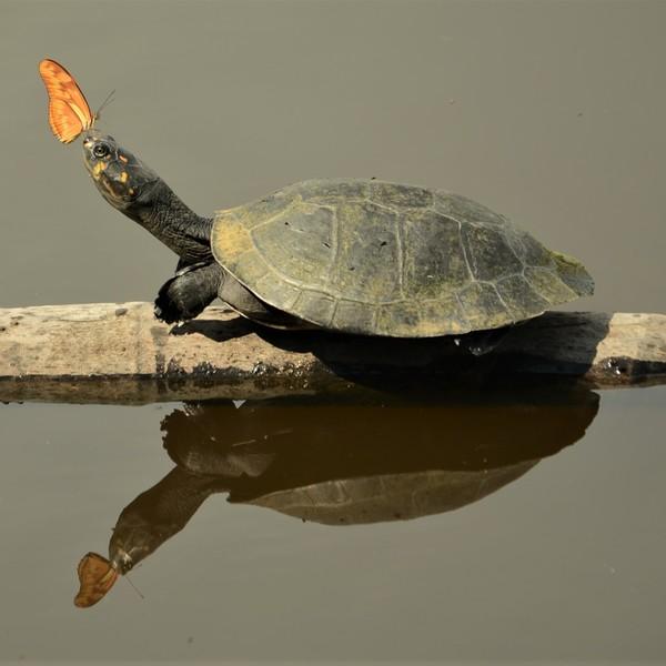 Une tortue et un papillon sur une branche flottant sur l'eau