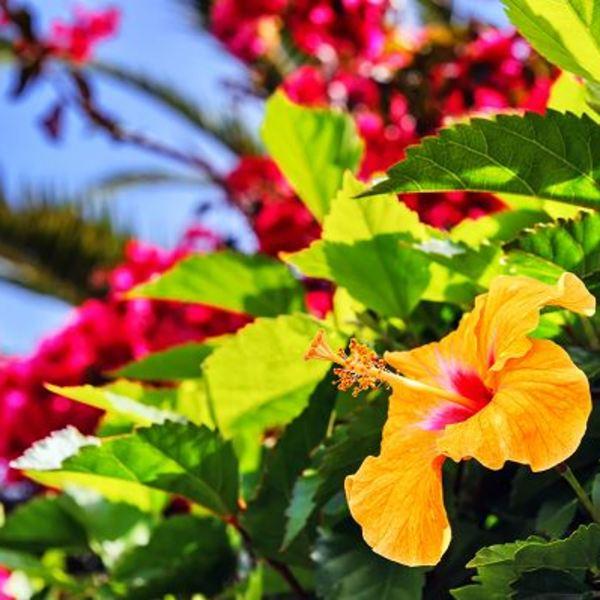 Gros-plan sur une fleur d'hibiscus orange