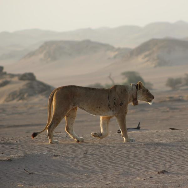 Lionne marchant dans le désert