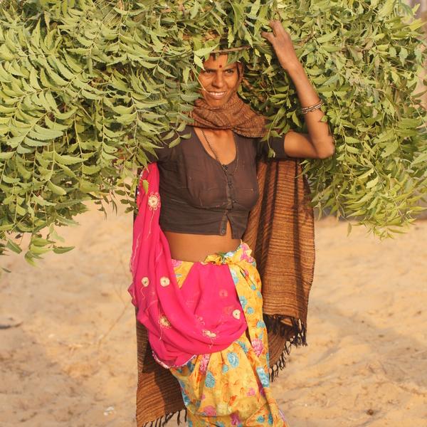 Une Rajasthani durant la récolte