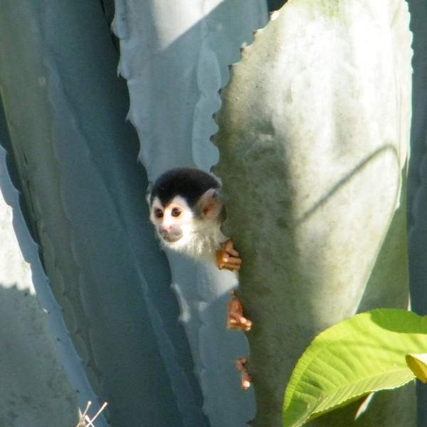Petit singe caché derrière une feuille d'aloe vera