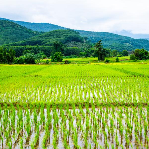 Das Bild zeigt ein Reisfeld.
