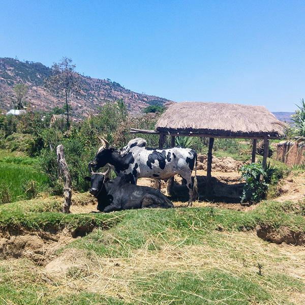 Deux vaches près d'un abri dans un champ