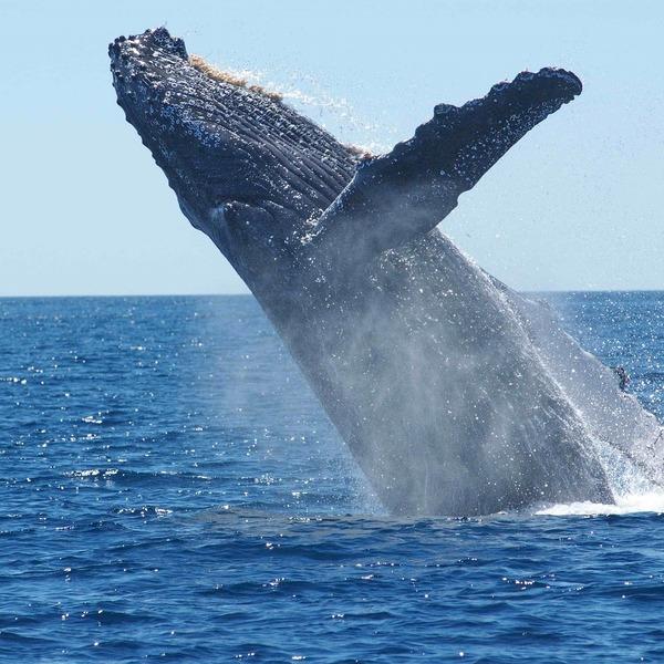 Une baleine à bosse sautant hors de l'eau