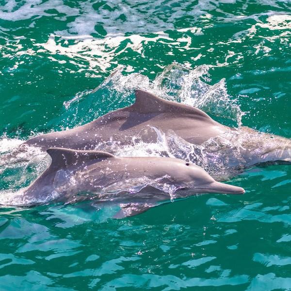 Dauphins nageant dans la baie de Musandam