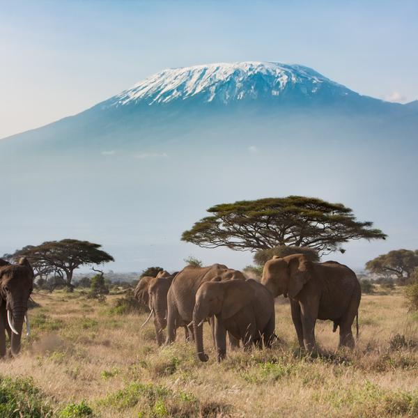 Vue sur le Kilimandjaro avec groupe d'éléphants au premier plan