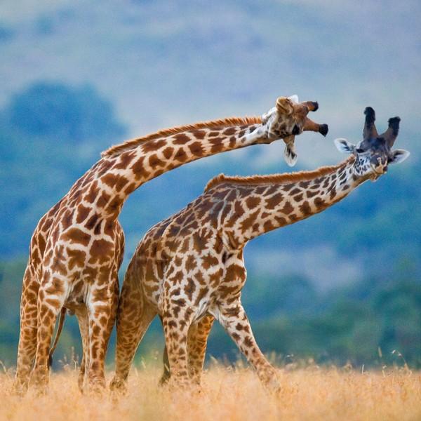 Deux girafes penchées sur le côté