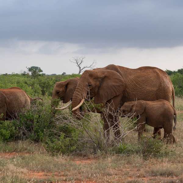 Groupe d'éléphants dans la savane