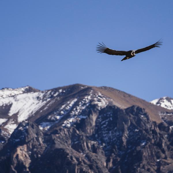 Cóndor sobre el cañón del Colca